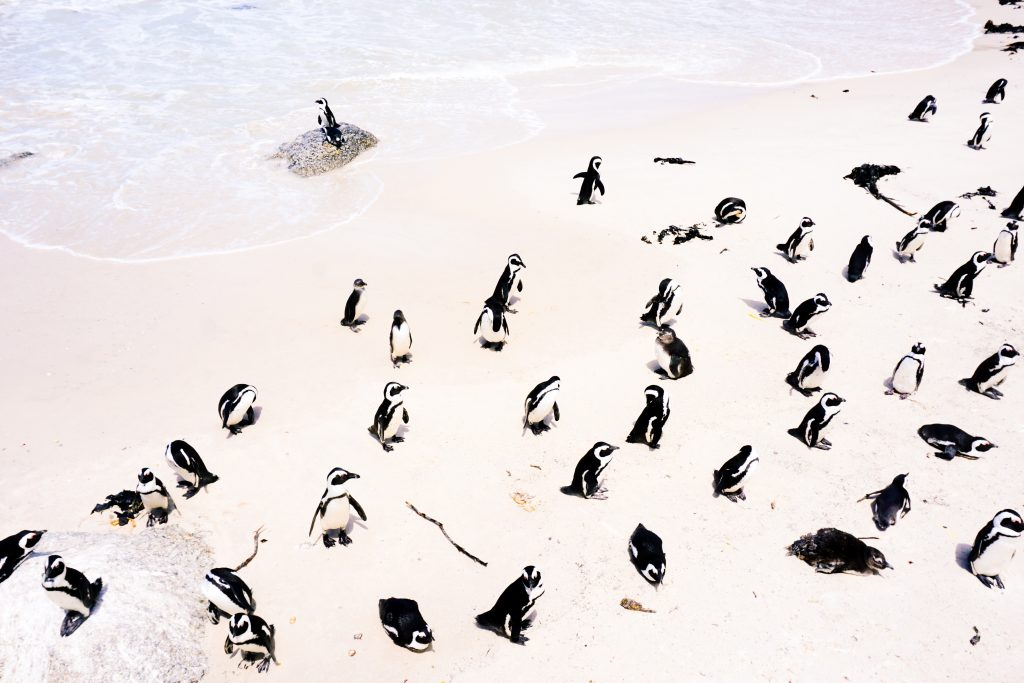 Penguins Boulders Beach Cape Town, travel with kids leopard travel